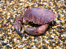 The Dead Crab. Is couching on the beach Stock Photos