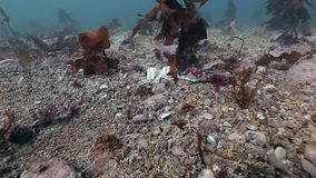 Dead crab on a deserted sandy bottom of Barents Sea. Animal remains on burial ground underwater of Arctic ocean stock video