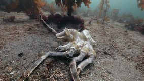 Dead crab on a deserted sandy bottom of Barents Sea. Animal remains on burial ground underwater of Arctic ocean stock video footage