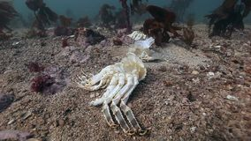Dead crab on a deserted sandy bottom of Barents Sea. Animal remains on burial ground underwater of Arctic ocean stock footage