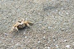 Free Dead Crab On A Sandy Beach Stock Photos - 150234783