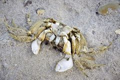 Dead crab in the sand stock photo