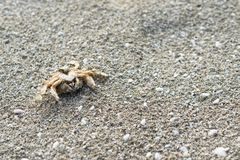 Dead crab on a sandy beach. Concept of nature, aquatic animal life stock photos