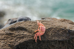 Dead crab shell Royalty Free Stock Image