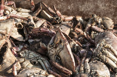 Dead crabs in a pile on the pier Stock Images