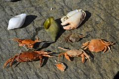 Dead crabs. On a stone Royalty Free Stock Image