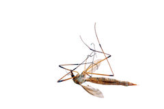 Dead cranefly (isolated) Royalty Free Stock Image
