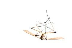 Dead cranefly (isolated) Royalty Free Stock Photo