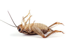 Dead Cricket Royalty Free Stock Images