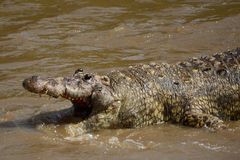 Dead crocodile in Mara River, Maasai Mara Game Reserve, Kenya Stock Photography