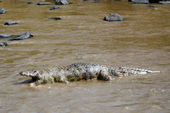 Dead crocodile in Mara River, Maasai Mara Game Reserve, Kenya Royalty Free Stock Image