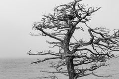 Dead Cypress Tree. A bare cypress tree along the California coast in black and white stock images