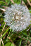 A dead dandelion Stock Photos