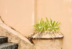 Dead Dandelion Royalty Free Stock Images