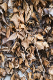Dead and decaying ivy leaves Royalty Free Stock Image