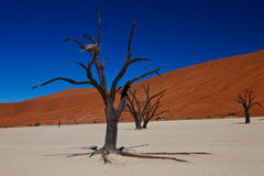 Dead Desert. Dead tree in the middle of red sand desert Royalty Free Stock Image