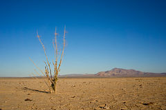 Dead in the Desert. Dead branches emerge from the parched ground of a lakebed in the Mojave Desert Royalty Free Stock Photography