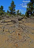 Dead in the Desert. Remains of a juniper tree in the juniper wilderness east of Redmond, OR stock image