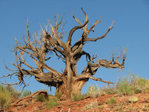 Dead desert tree