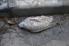 Dead die fish. Close up dead  fish on the floor after flood Stock Photos