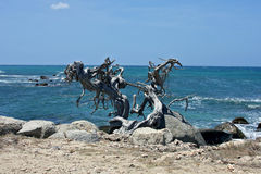Dead Dividivi tree on the beach Royalty Free Stock Image