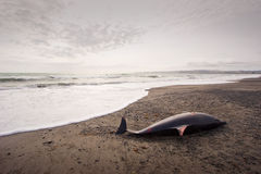 Dead Dolphin 01 Royalty Free Stock Photography