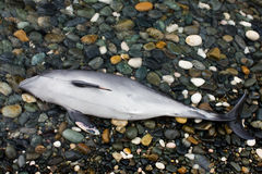 Dead Dolphin Royalty Free Stock Photo