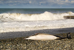 Dead Dolphin and Waves Royalty Free Stock Photography