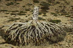 Dead Dragon Blood Tree, Dracaena cinnabari, Socotra dragon tree, Threatened species Royalty Free Stock Photos