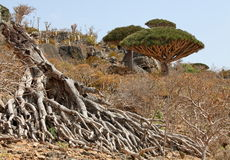 Dead dragon tree Stock Image