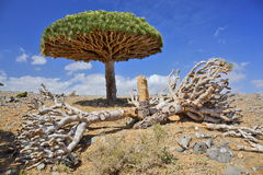 Dead dragon tree Royalty Free Stock Images