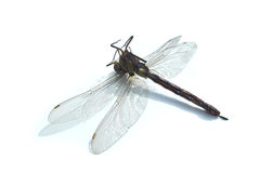Dead dragonfly Stock Image