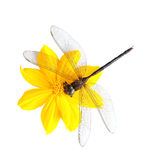 Dead dragonfly on flower Stock Photography