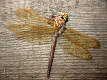 A dead dragonfly (Odonata) Royalty Free Stock Photography