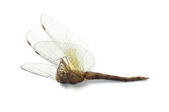Dead Dragonfly Royalty Free Stock Photography
