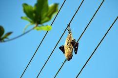 Dead dried big bat on the power line Royalty Free Stock Images