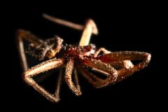 Dead dried brown spider, macro. On a black background Stock Photos