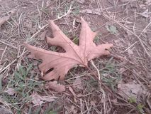 Dead dried maple leaf on ground Stock Photo