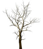 Dead dried oak tree isolated on white Stock Photos