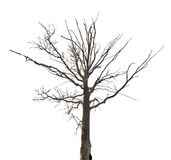 Dead dry oak isolated on white Stock Photography