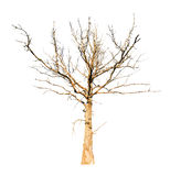 Dead dry oak tree isolated on white Stock Photos