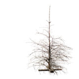 Dead Dry Pine Tree Stock Image
