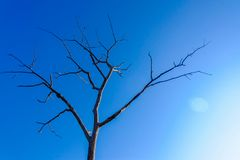 Dead dry tree on blue sky. Death and alive concept. royalty free stock image