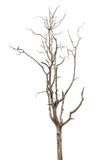 Dead and dry tree is isolated on white Stock Photography
