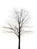 Dead and dry tree is isolated on white background Stock Image