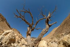 Dry tree in Judea desert. Stock Photo