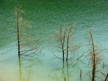 Dead dry trees in lake. Dry tree branches over Surface water with green water background royalty free stock photo
