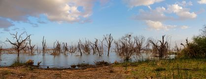 Dead dry trees in the middle of a lake. At rainy season flood in Africa Royalty Free Stock Photo