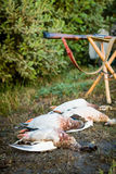 Dead ducks and hunting weapons. Stock Image