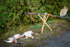 Dead ducks and hunting weapons. Royalty Free Stock Photography